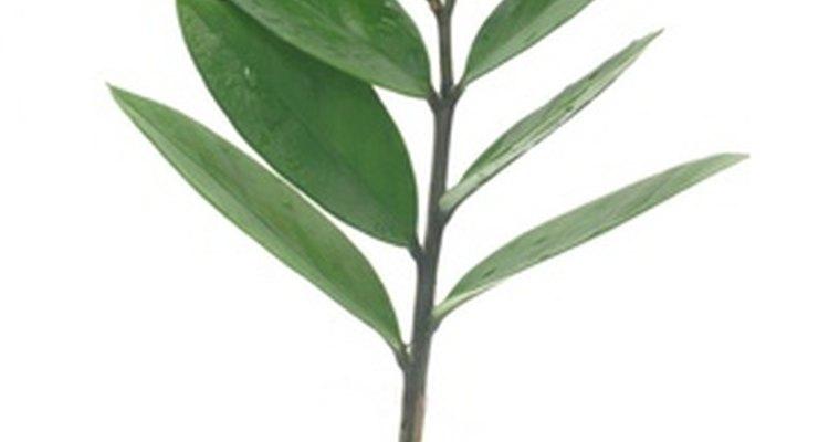 Planta com um tubérculo