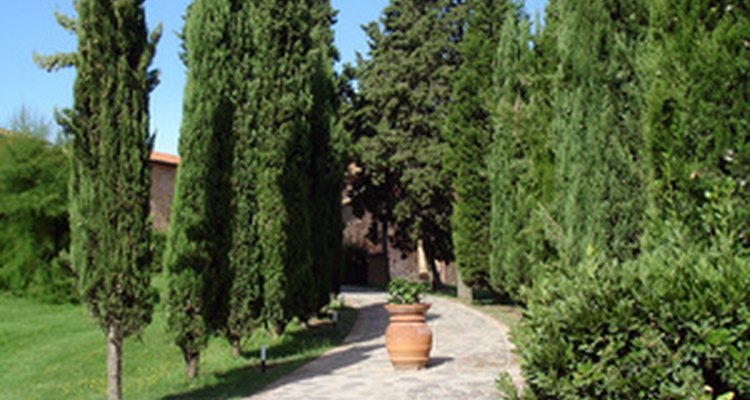 Transplant cypresses before they get this tall.