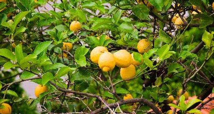 Un limonero.