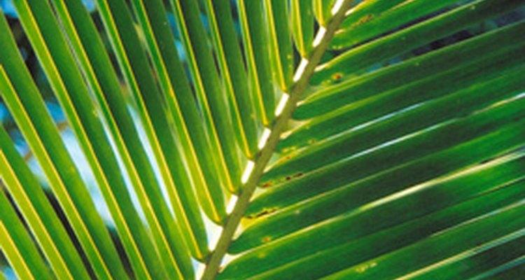 Ramo de palmeira