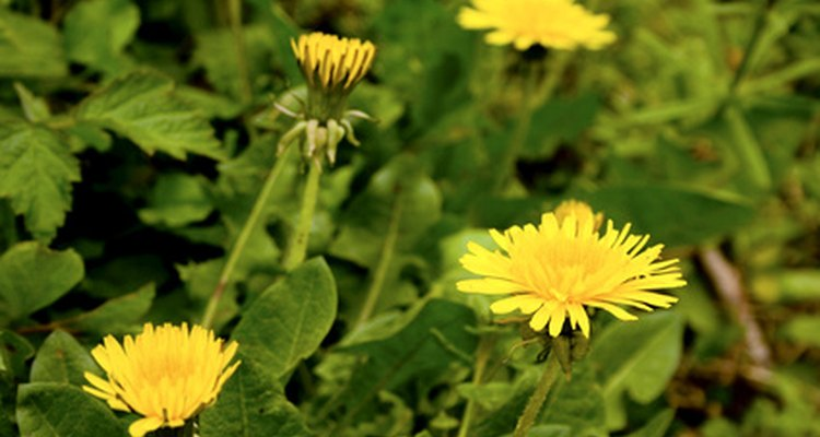Allergic reactions to ragweed or other plants may indicate you will have a reaction to dandelion.