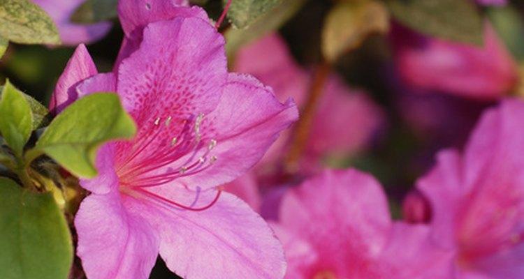 A azaleia é comumente usada em projetos de paisagismo