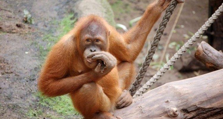 La palma es uno de los alimentos básicos de los orangutanes.