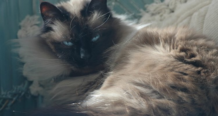 The fluffy, floppy nature of a Ragdoll is one of its distinguishing features.