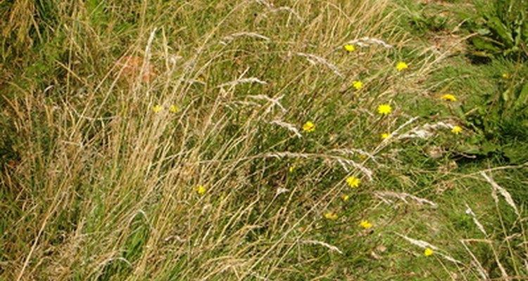 Insetos demais podem destruir um gramado