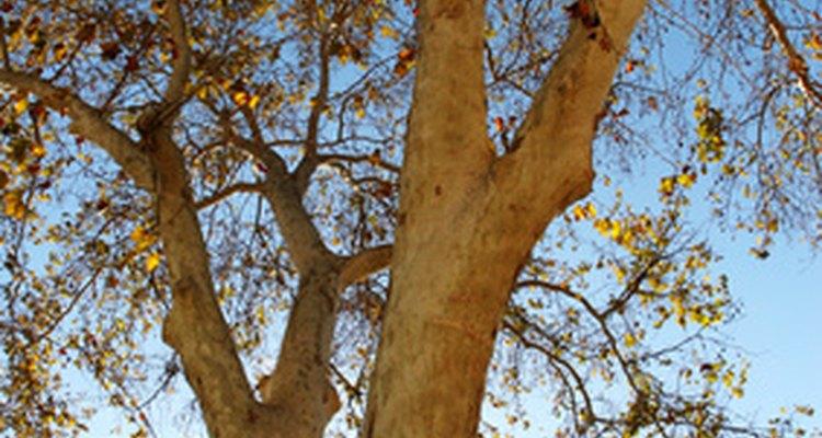 The sycamore tree has light-coloured bark.