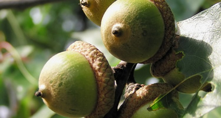A cluster of acorns on an oak tree