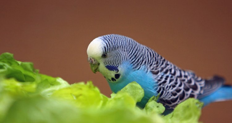 Although strokes are uncommon in parakeets, you should be aware of the symptoms.