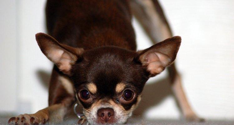 Chihuahuas podem desenvolver vários tipos de perda de pelo
