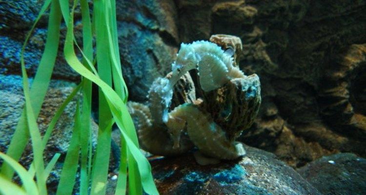 Assim como os outros peixes, os cavalos-marinhos respiram usando as guelras