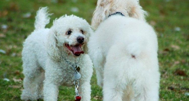 Los accidentes automovilísticos pueden causar un edema en la pata del perro.