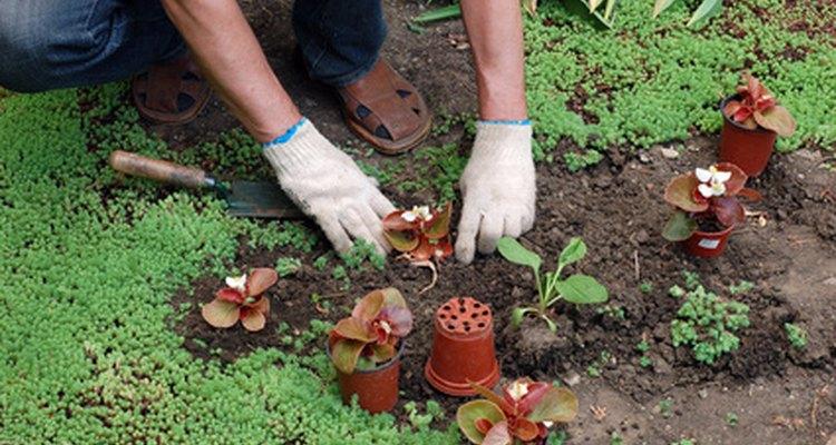 Aunque el tabaco es fácil de cultivar, sus semillas son diminutas.