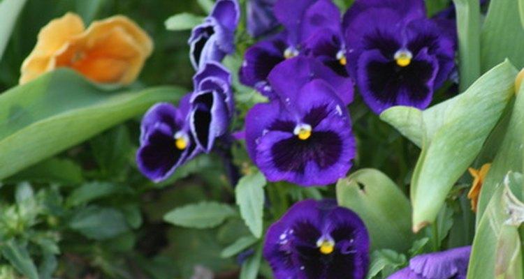 Con un poco de planificación, se pueden incluir flores en los colores del otoño como pensamientos púrpuras.
