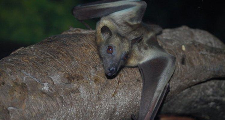 Cada morcego consome milhares de mosquitos todos os dias