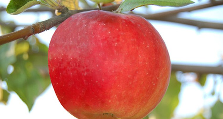 Greasebands and fruit tree grease trap most apple tree pests.
