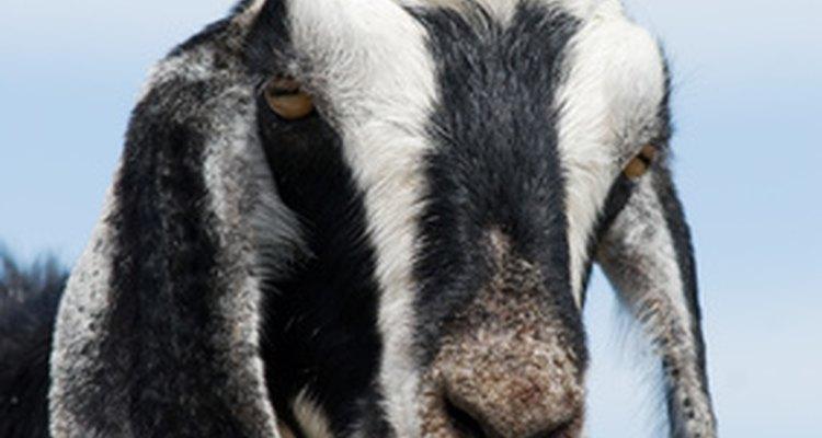 Sua cabra está tossindo?