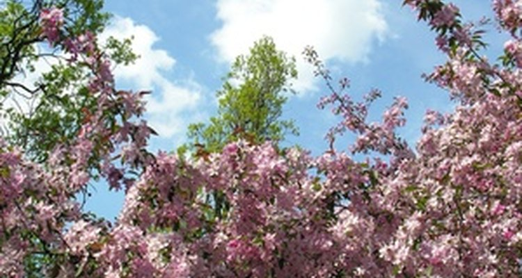 Crepe myrtle Catawba puts on a stunning floral display.