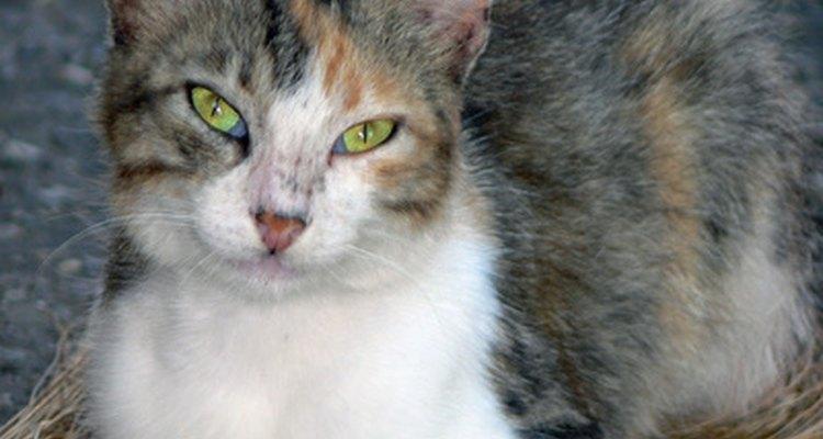 Leve seu gato ao veterinário, se você encontrar cistos dermoides