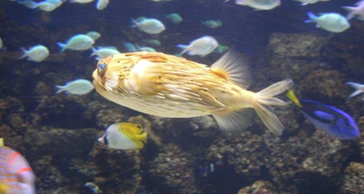 O óleo de melaleuca pode manter os peixes de um aquário saudáveis