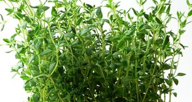 El tomillo es una perenne resistente que viene en muchas variedades.