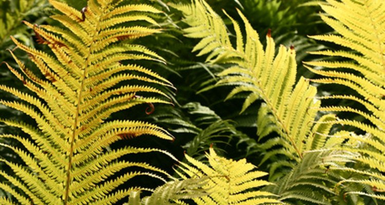 Damaged leaves detract from the fern's natural beauty.