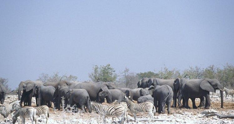 Olhe para um grupo de elefantes para determinar o tamanho de gêneros diferentes