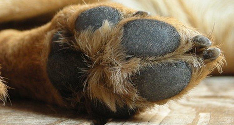O sulco interdigital está localizado entre os dedos do cão