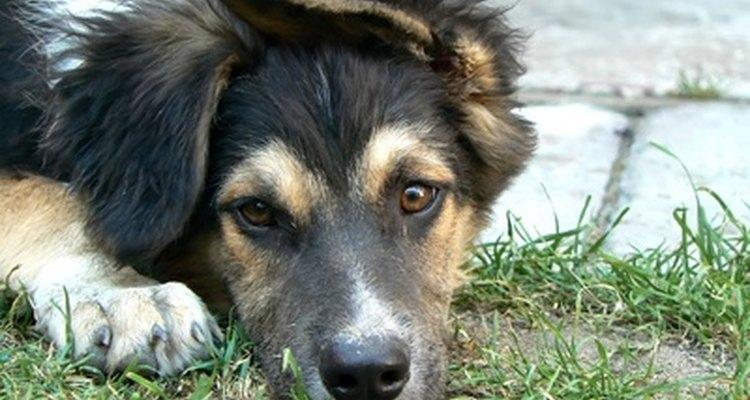 Revisar los perros con regularidad es importante para prevenir infecciones.