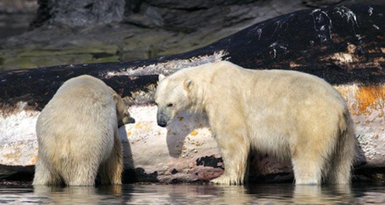 Aprende cómo se aparean los osos.