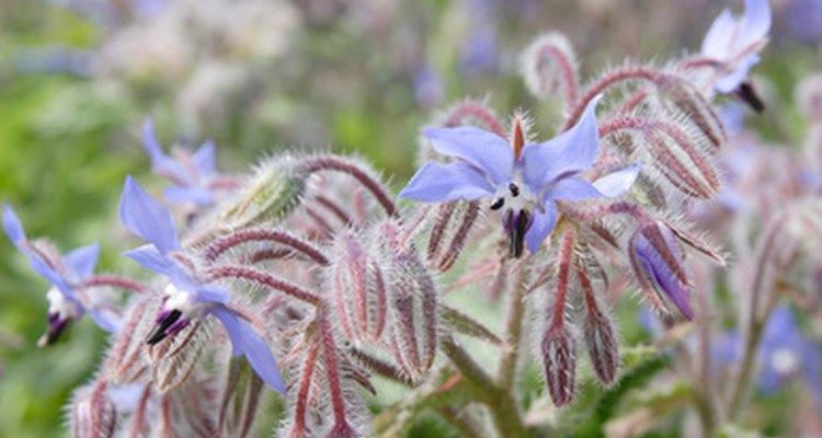 Las plantas de borraja producen flores comestibles en forma de estrella.