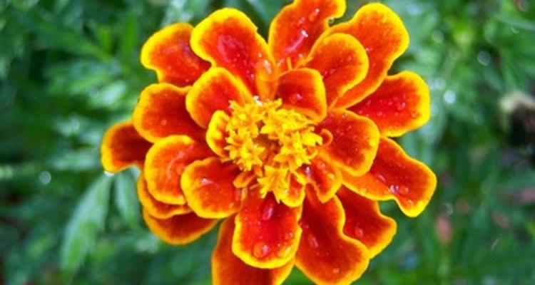 Las maravillas son anuales vibrantes que aligeran tu paisaje del jardín.