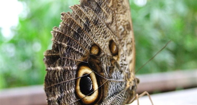 The Owl Butterfly is one animal that uses camouflage to avoid predators.