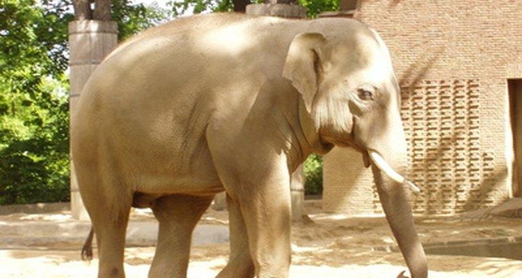 Elefante en el zoológico.