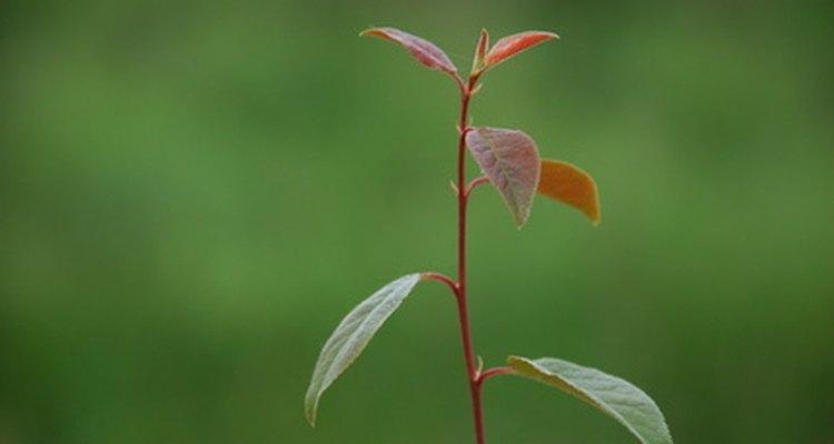 O caule vermelho nem sempre significa que a planta é venenosa
