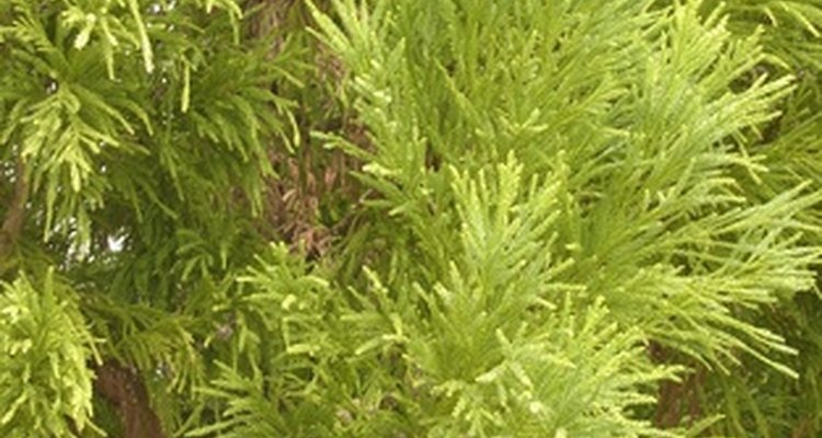 Some evergreen plants may tolerate wet soils.