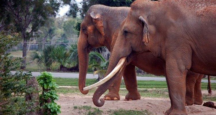 Joias de marfim são normalmente feitas de presas de elefante