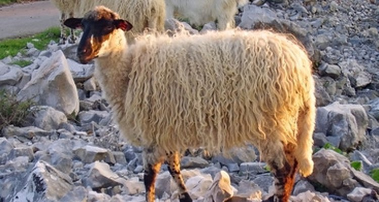 Sheep's wool is long and shaggy on the outside and fluffy beneath.