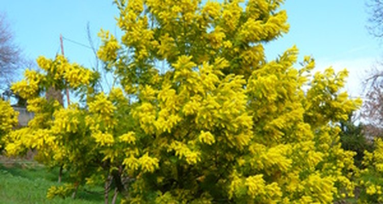 Mimosa in need of pruning