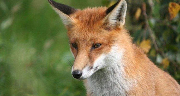 As raposas são valorizadas por sua pele