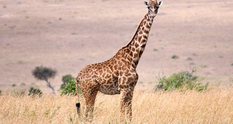 El animal registrado como el más alto.