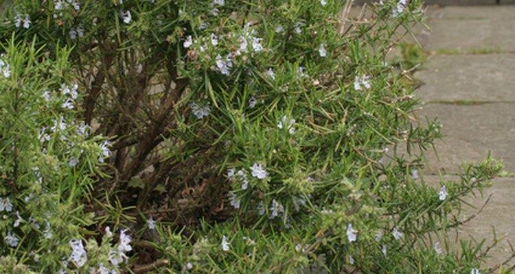 El romero da pequeñas pero atractivas flores.