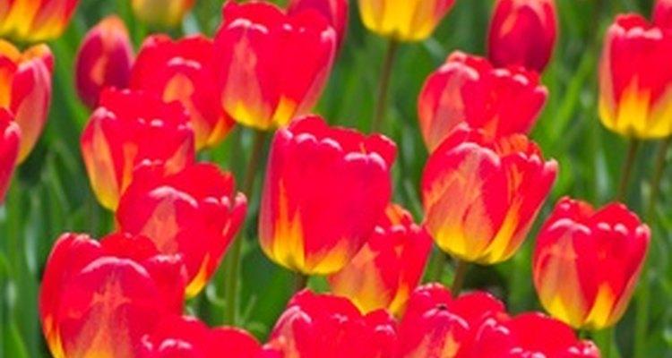Los tulipanes están disponibles en variedades de colores sólido y mezclados.
