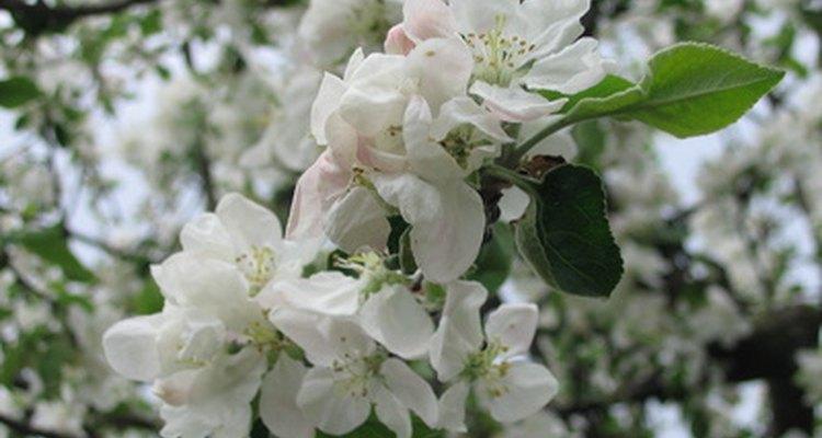 As flores da macieira cobrem os galhos na primavera