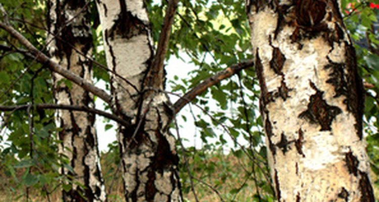Birch is a versatile and useful wood.