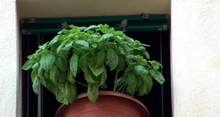 Cultivo de albahaca en casa.