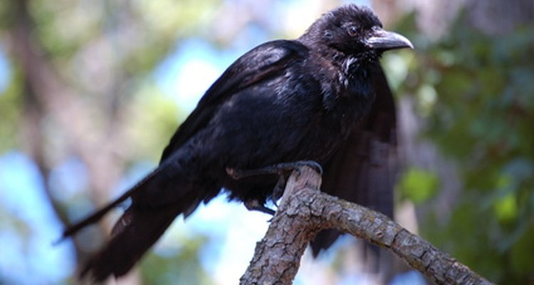 Solitary: a carrion crow