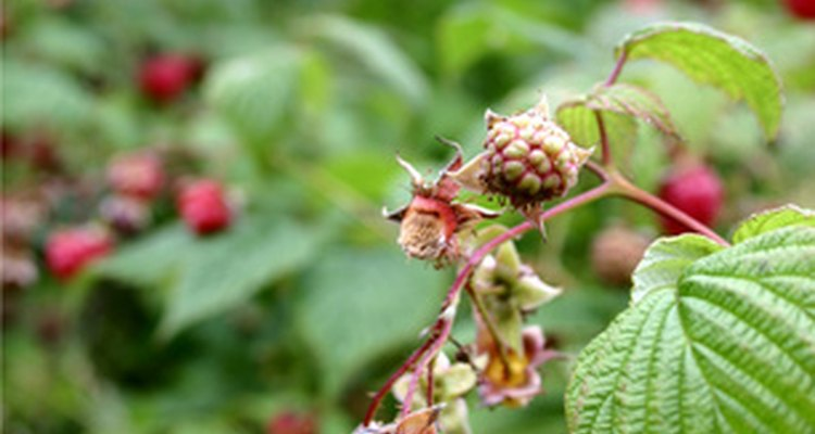Get rid of overgrown raspberry patches