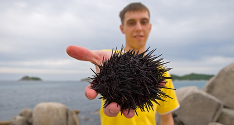 Los erizos de mar son animales pequeños y espinosos.