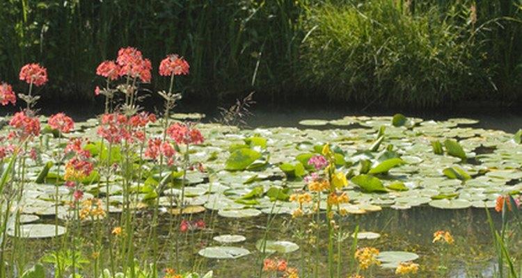 Los estanques poco profundos son hábitats excelentes para los lirios acuáticos.
