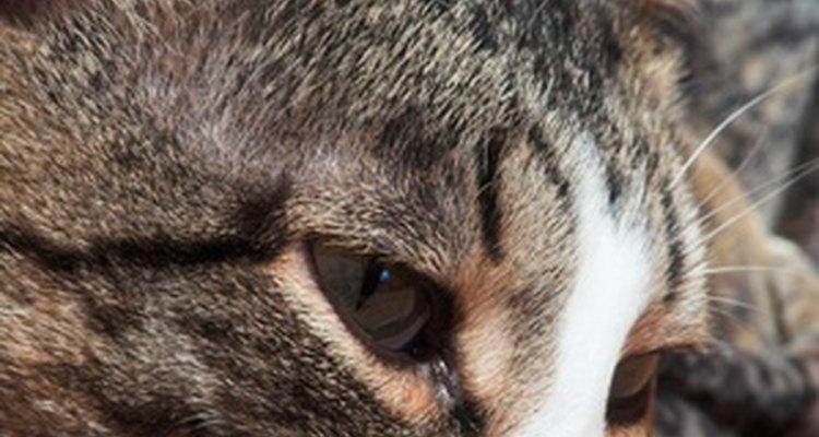 Uma variedade de problemas causa perda de pelos nas orelhas de gatos